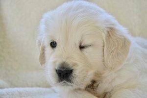 La microphtalmie du chien