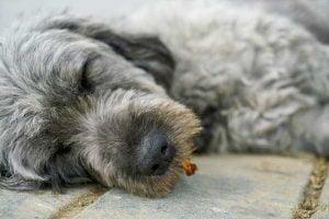 La narcolepsie chez le chien