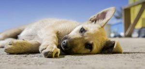 L'anémie du chien