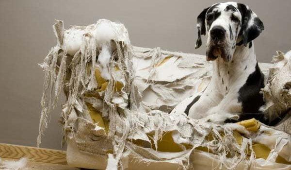 Un chien destructeur