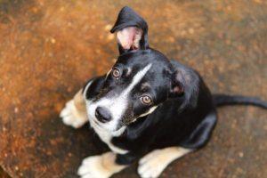 Le distichiasis du chien