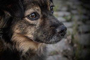 La fausse couche chez la chienne
