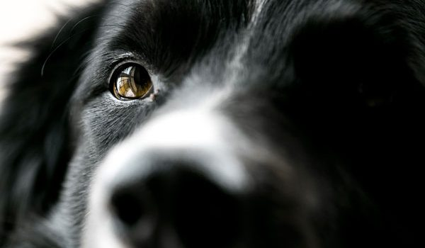 L'ulcère de la cornée du chien