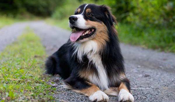 Les races de chien de taille moyenne