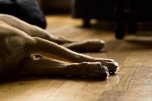 La crise cardiaque chez le chien