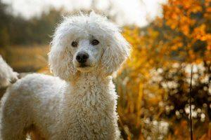 Le trichoblastome chez le chien