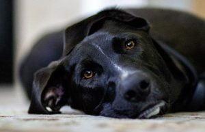 Un chien paralysé soudainement